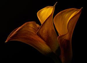 Обои Каллы Вблизи Черный фон Втроем цветок