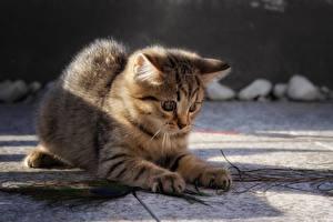 Фотография Коты Боке Котенок Играют Лап животное