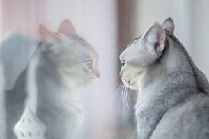 Обои Кошки Серая Головы Отражение Стекло животное