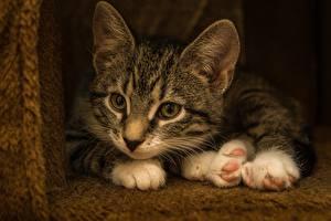Обои Кот Котенка Лежа Лап животное
