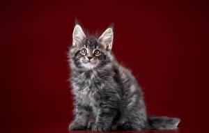 Фотографии Коты Мейн-кун Котята Взгляд Цветной фон Животные