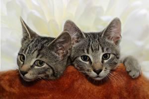 Картинки Коты Двое Котенка Голова Взгляд Животные