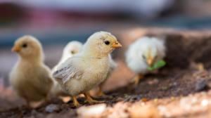 Фотографии Птенец курицы Птенцы Птицы Боке Животные