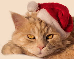 Фотография Новый год Кошки Морда Шапки Животные