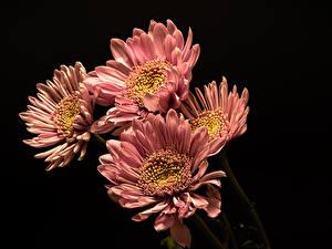 Фото Хризантемы Вблизи Черный фон Розовый Цветы