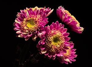 Фотография Хризантемы Крупным планом Черный фон Фиолетовых цветок