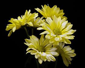 Картинки Хризантемы Вблизи На черном фоне Желтые цветок