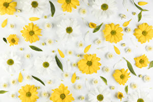 Фотография Хризантемы Серый фон Лепестков Цветы