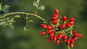 Картинки Крупным планом Ветки Листья Шиповник плоды Природа