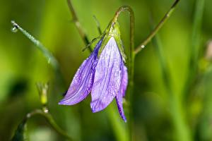 Картинки Крупным планом Колокольчики - Цветы Боке Фиолетовые Капельки цветок