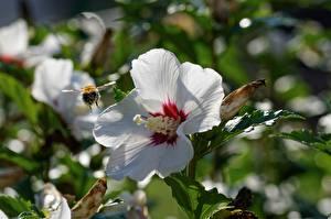 Картинка Вблизи Гибискусы Пчелы Насекомые Боке Белые цветок