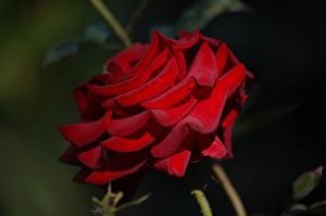 Обои Крупным планом Розы Красных цветок