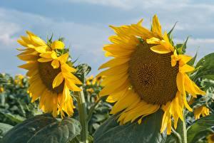 Фото Вблизи Подсолнухи Цветы