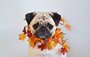 Фотографии Собака Осенние Сером фоне Мопса Листва Клёна Морды животное
