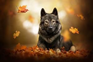 Картинка Собака Осень Овчарка Листья Размытый фон Животные