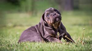 Фотография Собаки Размытый фон Трава Щенков Лежачие Бульдог Милый животное