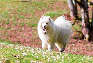 Картинки Собаки Белый Самоедская собака животное