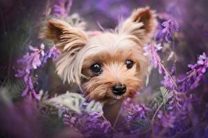 Фотографии Собака Йоркширский терьер Взгляд Морды Милый