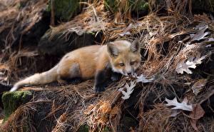 Фото Лисица Детеныши животное