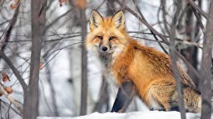 Фото Лисы Снеге Смотрят Рыжая