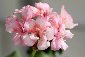Картинки Герань Вблизи Розовые
