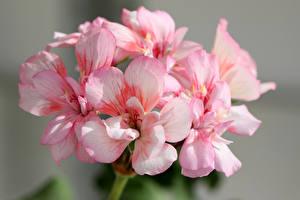 Картинки Герань Вблизи Розовые Цветы