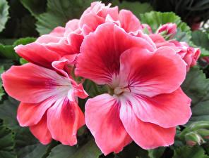 Картинка Журавельник Вблизи Розовые