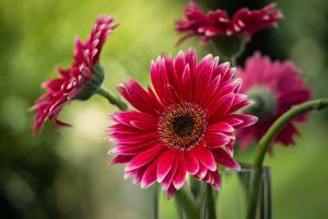 Фотографии Герберы Вблизи Размытый фон Красная Цветы