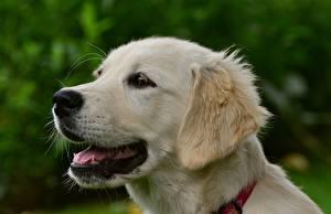 Фото Золотистый ретривер Вблизи Собака Головы Белых Животные