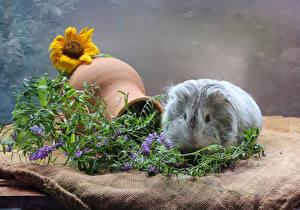 Фото Морские свинки Подсолнухи Кувшины Животные