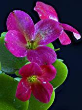 Фото Каланхое Крупным планом На черном фоне Цветы