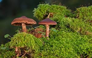 Картинка Грибы природа Мох Lepiota castanea, chestnut dapperling Природа