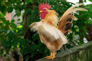 Фото Петух Птицы Перья Животные