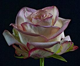 Картинка Розы Крупным планом На черном фоне Цветы