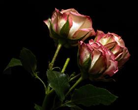 Фотографии Роза Крупным планом Черный фон Трое 3 Цветы