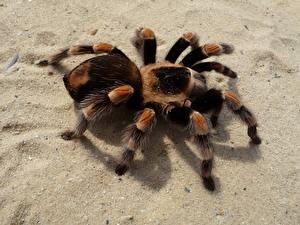 Фотографии Пауки Вблизи Насекомое Песка Лап Red-Kneed Tarantula