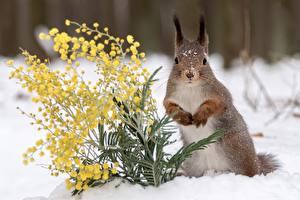 Обои Белки Мимозы Снег Животные картинки