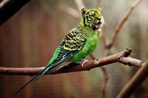 Картинки Тигры Птицы Оригинальные Попугаи Ветвь Юмор
