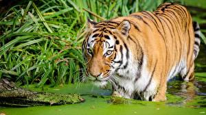 Картинки Тигры Болото животное