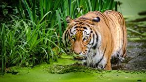 Фотографии Вода Тигр Болотом Животные