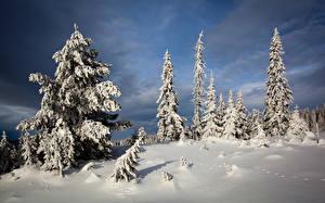 Обои Зимние Ели Снега
