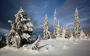 Обои Зимние Ели Снега Природа