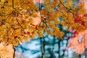 Картинка Осенние Листья Клён Ветки Природа