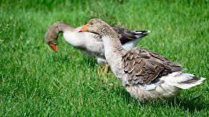 Фото Птица Гусь Траве 2 животное