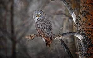 Картинка Птица Совы Ветвь Great grey owl strix