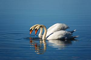Обои Птицы Лебедь Вода Две животное