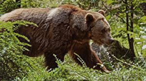 Картинки Медведи Бурые Медведи