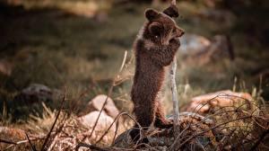 Фотографии Медведь Гризли Боке Ветвь животное