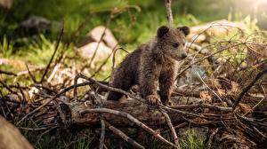 Фото Медведь Гризли Детеныши Ветвь