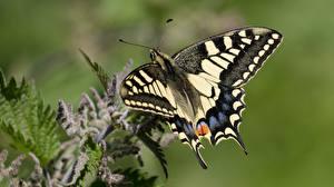 Картинки Бабочка Крупным планом Насекомое Papilio machaon